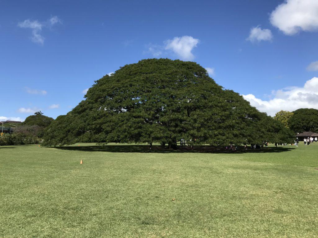 モアナルアガーデン、この木なんの木